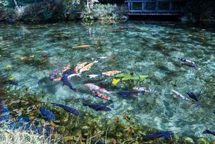 通称モネの池のニシキゴイがおよぐ風景の写真素材 [FYI01710996]