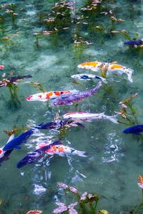 ニシキゴイがおよぐ通称モネの池の写真素材 [FYI01711011]