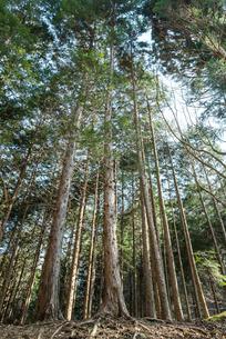 真っすぐ伸びるヒノキとスギの林の写真素材 [FYI01711041]