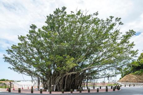 佐多岬展望公園の巨大なガジュマルの木の写真素材 [FYI01711060]
