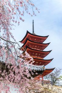 サクラ越しに見る厳島神社五重塔の写真素材 [FYI01711066]