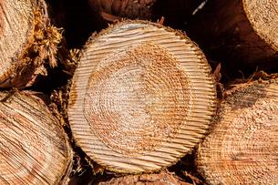 ヒノキの丸太の断面の写真素材 [FYI01711072]