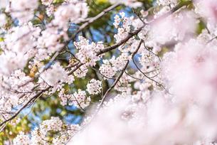 満開のサクラの枝花の写真素材 [FYI01711084]