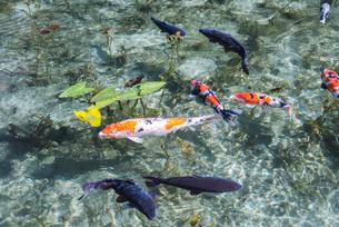 通称モネの池のニシキゴイがおよぐ風景の写真素材 [FYI01711088]