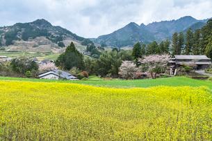 菜の花と桜を見る山里の原風景の写真素材 [FYI01711112]