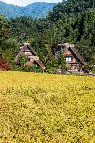 山を背景に稔った稲越しに見る合掌造りの家屋の写真素材 [FYI01711147]