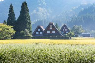 霞の中ソバ畑越しに見る三棟の合掌造りの家屋の写真素材 [FYI01711149]