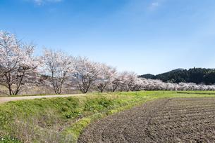 田園地帯の川沿いにサクラ並木を見る風景の写真素材 [FYI01711178]