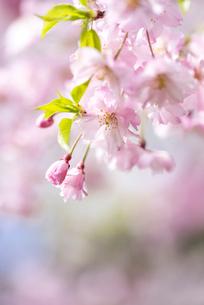 サクラの花アップイメージの写真素材 [FYI01711189]