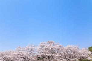 青空と満開のサクラの写真素材 [FYI01711198]
