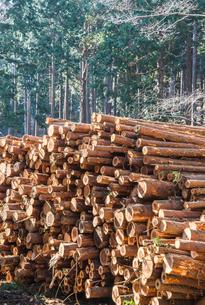 伐採されたスギとヒノキの丸太が積み上げられた風景の写真素材 [FYI01711209]
