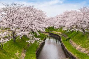 川沿いのサクラ並木を見る風景の写真素材 [FYI01711230]