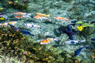 コイが泳ぐ通称モネの池の写真素材 [FYI01711250]