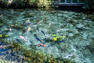 コイが泳ぐ通称モネの池の写真素材 [FYI01711277]
