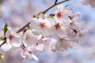 満開のサクラの花アップの写真素材 [FYI01711283]