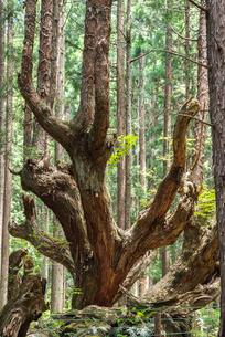 21世紀の森の巨大な株杉の写真素材 [FYI01711442]