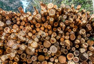 伐採されたスギとヒノキの丸太が積み上げられた風景の写真素材 [FYI01711578]