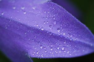 花びらと水滴の写真素材 [FYI01711675]