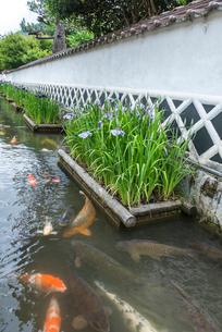 ハナショウブが咲く掘割にニシキゴイが泳ぐ風景の写真素材 [FYI01711722]