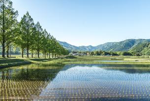 山並みと新緑のメタセコイア並木と田植え直後の田園風景の写真素材 [FYI01711842]