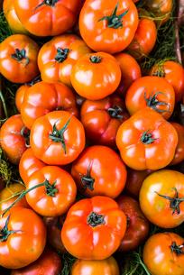 沢山のトマトの写真素材 [FYI01711871]
