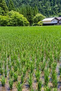 蔵を見る田植え後の水田風景の写真素材 [FYI01711874]
