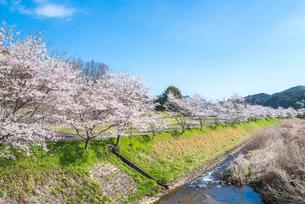 川沿いのサクラ並木を見る風景の写真素材 [FYI01711983]