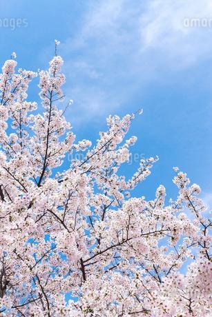 雲靡く青空に満開のサクラを見上げるの写真素材 [FYI01712120]