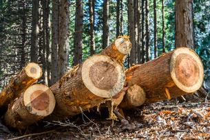 森林の中伐採されたスギの丸太を見る風景の写真素材 [FYI01712161]