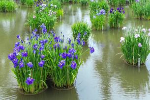 太宰府天満宮菖蒲池に咲くハナショウブの写真素材 [FYI01712239]