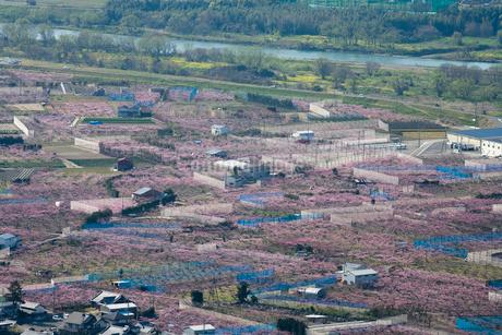 桃畑 春の開花季節の写真素材 [FYI01712422]