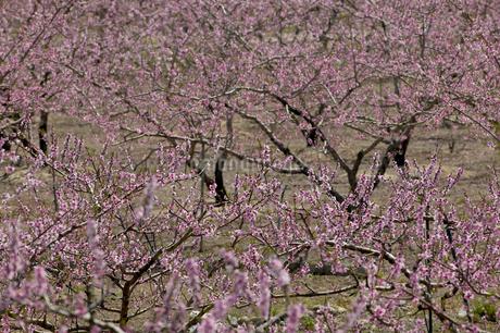 桜の写真素材 [FYI01712434]