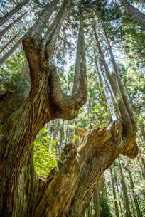 21世紀の森の巨大な株杉の写真素材 [FYI01712439]