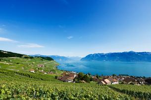 スイス ラボー地区 レマン湖畔ブドウ畑の写真素材 [FYI01712480]