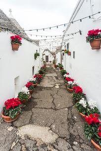 トゥルッリの路地に紅白シクラメンの鉢植えがが並ぶ風景の写真素材 [FYI01712582]
