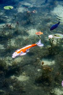 通称モネの池のニシキゴイを見る風景の写真素材 [FYI01712584]