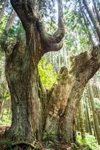 21世紀の森の巨大な株杉の写真素材 [FYI01712585]