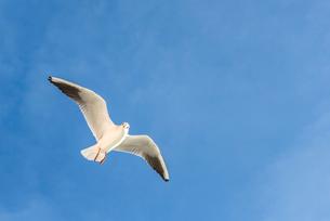 飛ぶ1羽のカモメの写真素材 [FYI01712621]