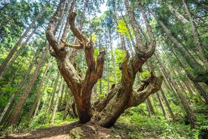 21世紀の森の巨大な株杉の写真素材 [FYI01712623]