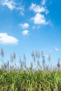 穂を見るサトウキビ畑の写真素材 [FYI01712627]