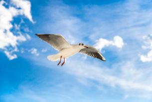 飛ぶ1羽のカモメの写真素材 [FYI01712630]