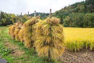 稲干しを見る水田風景の写真素材 [FYI01712690]