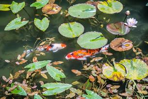 通称モネの池のニシキゴイを見る風景の写真素材 [FYI01712767]