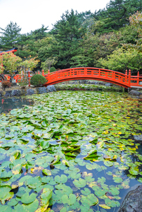 スイレンの葉で覆われた池にかかる赤い太鼓橋の写真素材 [FYI01712796]