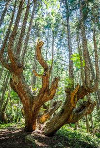 21世紀の森の巨大な株杉の写真素材 [FYI01712806]