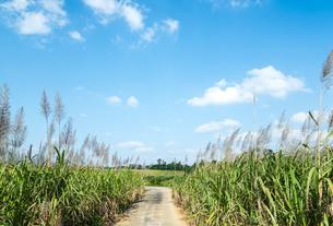 農道を見るサトウキビ畑の写真素材 [FYI01712842]