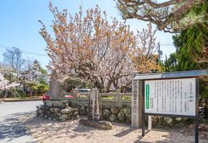 子安観音寺の不断桜と石碑の写真素材 [FYI01712917]