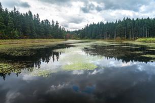 針葉樹林の水鏡とスイレンの葉を見る池の写真素材 [FYI01712937]