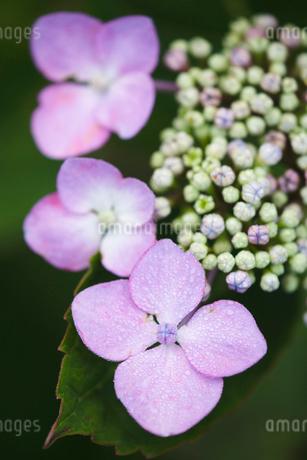 紫陽花の写真素材 [FYI01713048]