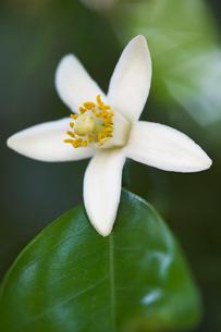 ミカンの花の写真素材 [FYI01713068]